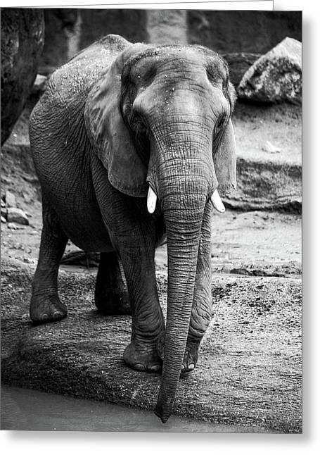 Greeting Card featuring the photograph Gentle One by Karol Livote
