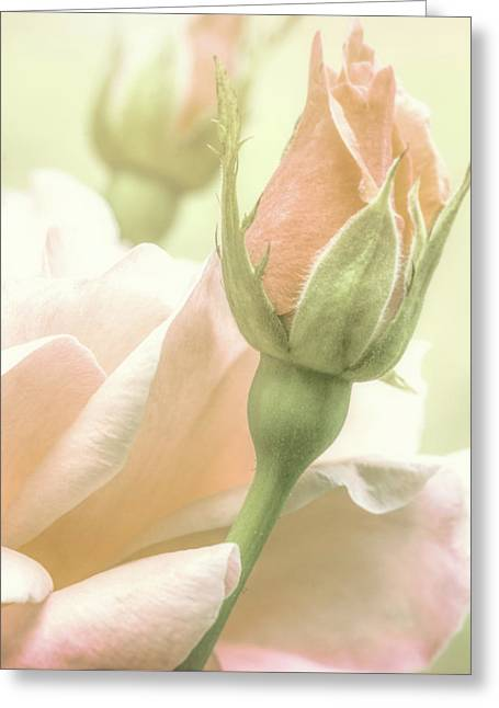 Gentle Roses Greeting Card by Bob Orsillo
