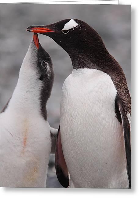 Gentoo Penguin Parenting Greeting Card