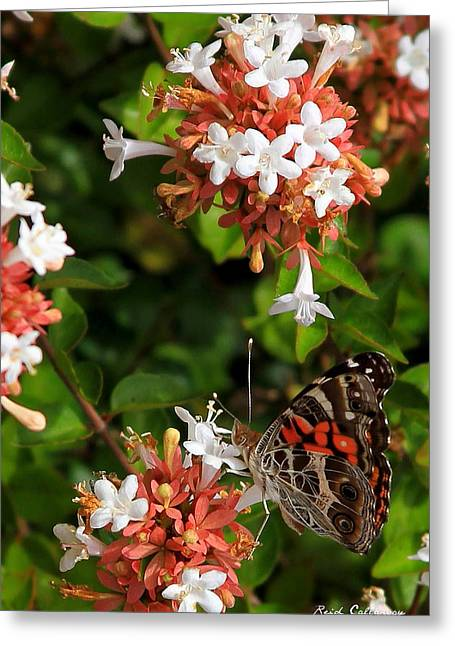 Georgia Painted Lady Greeting Card by Reid Callaway