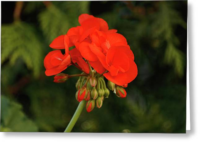 Greeting Card featuring the photograph Geranium  by Cristina Stefan