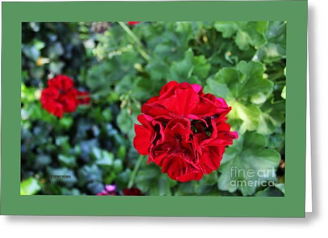 Geranium Flower - Red Greeting Card