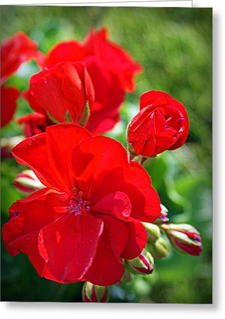 Red Geraniums Photographs Greeting Cards - Geraniums Greeting Card by Cricket Hackmann