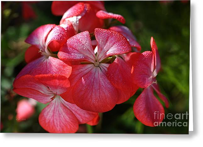 Geraniums Kissed Greeting Card by Joy Watson