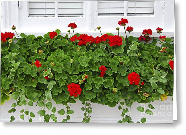 Geraniums On Window Greeting Card