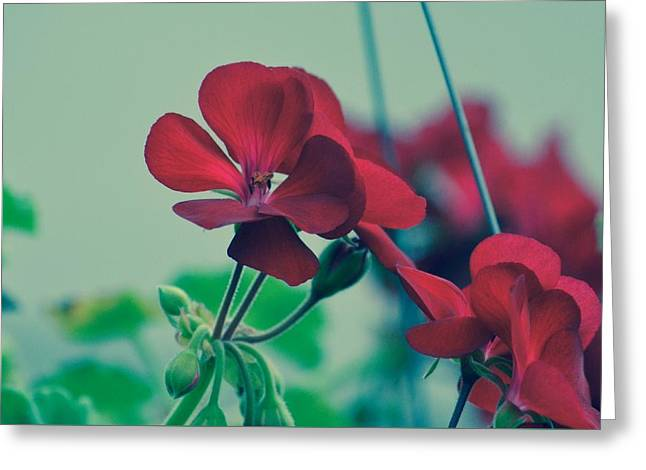 Geraniums Greeting Card by Penni D'Aulerio