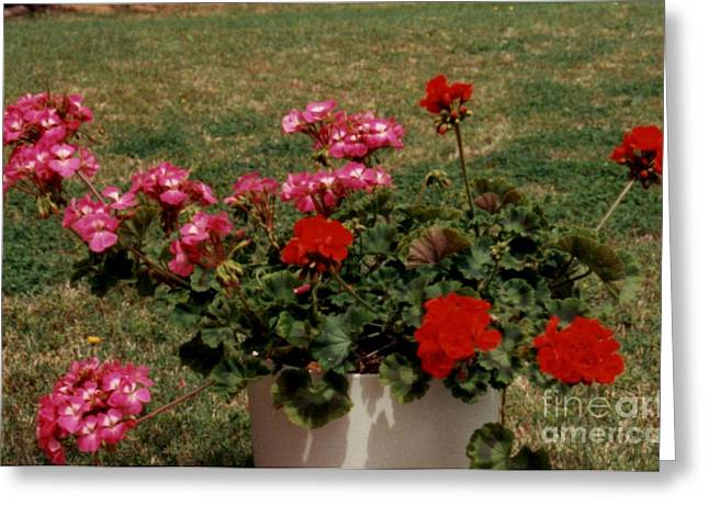 Geraniums  Greeting Card by Ruth  Housley