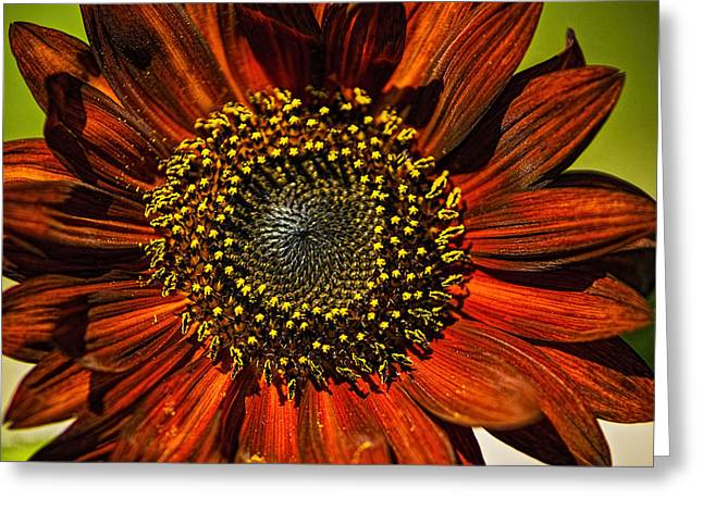 Gerber Daisy Full On Greeting Card