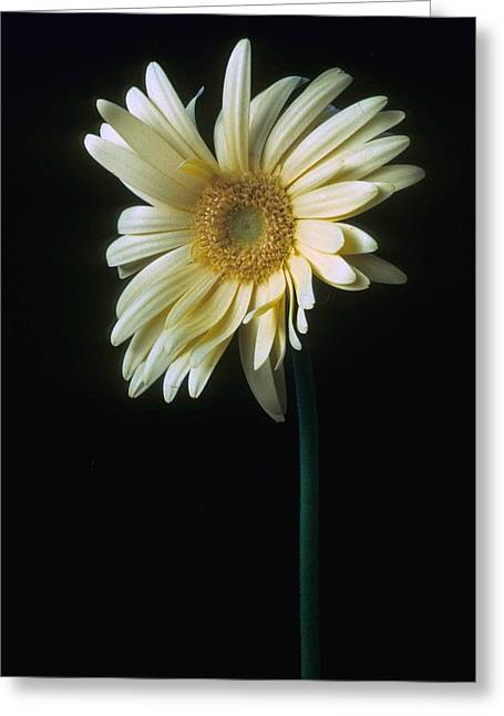 Gerber Daisy Greeting Card by Laurie Paci