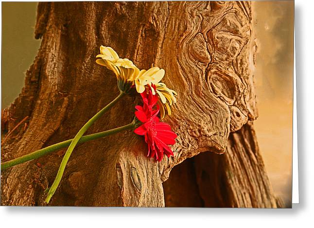 Gerber Daisy On Driftwod Greeting Card