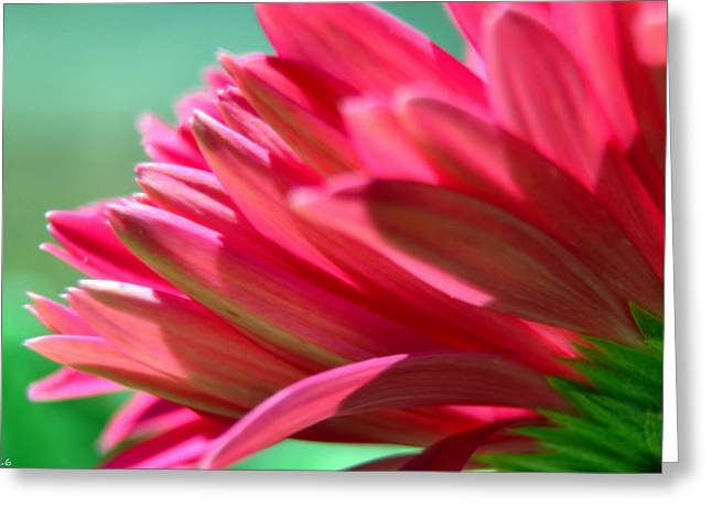 Gerber Daisy Petals Greeting Card by Lisa Wooten