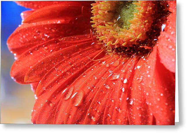 Gerbera Daisy After The Rain Greeting Card