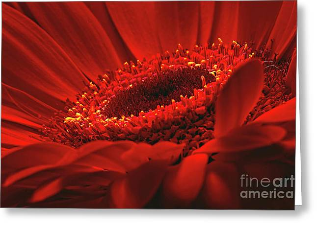 Greeting Card featuring the photograph Gerbera Daisy In Red by Sharon Talson