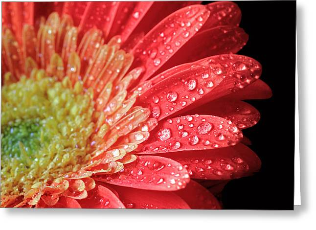 Gerbera Daisy Macro Greeting Card