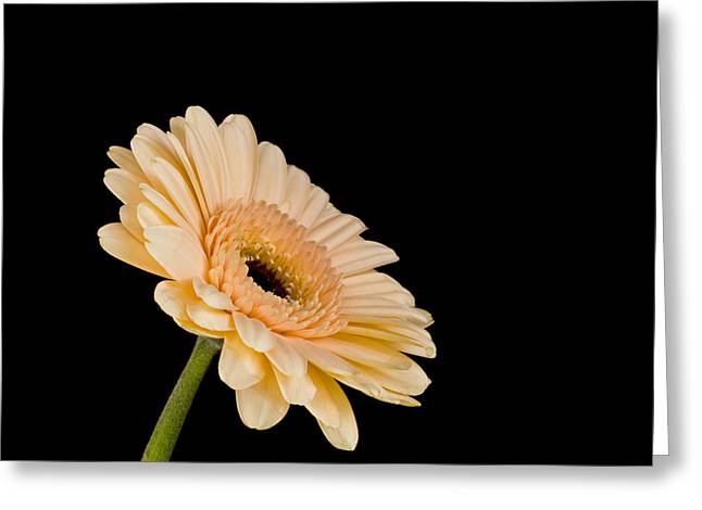 Gerbera Daisy On Black Greeting Card