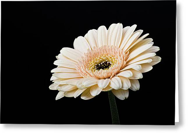 Greeting Card featuring the photograph Gerbera Daisy On Black II by Clare Bambers
