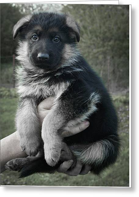 German Shepherd Puppy Greeting Card by Daniel Hagerman