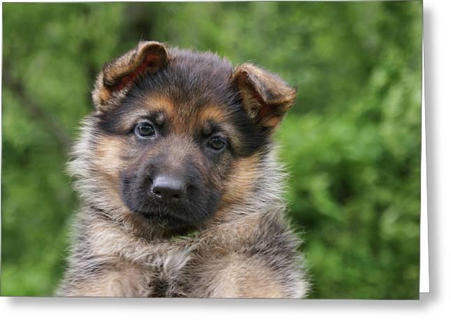 German Shepherd Puppy IIi Greeting Card by Sandy Keeton