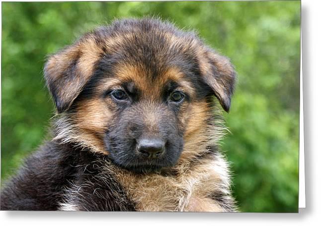 German Shepherd Puppy Greeting Card by Sandy Keeton