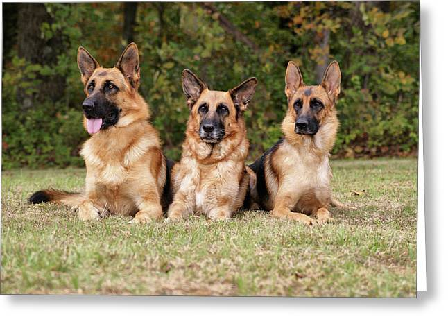 German Shepherds - Family Portrait Greeting Card by Sandy Keeton
