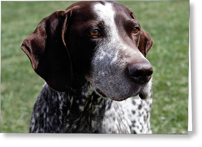 German Shorthaired Pointer  Greeting Card by Steven Digman