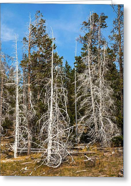 Greeting Card featuring the photograph Ghost Pines At Yellowstone National Park by Lon Dittrick