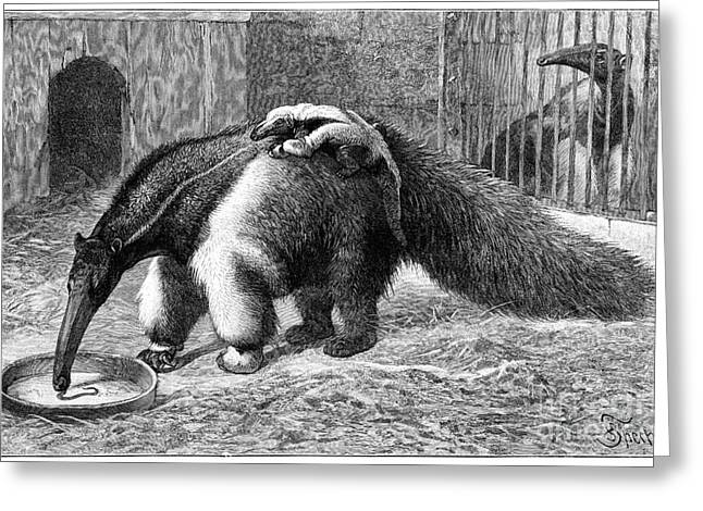 Giant Anteater And Cub, 19th Century Greeting Card by Spl