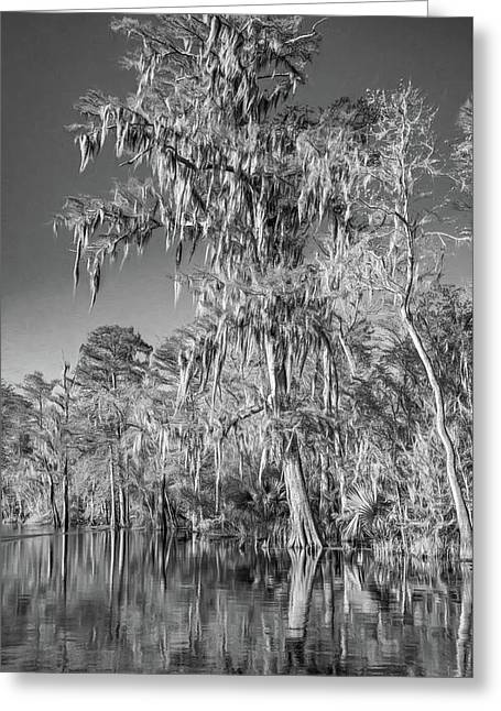 Giant Cypress 2 - Bw Greeting Card by Steve Harrington