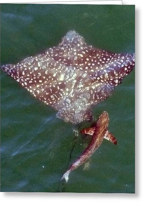 Giant Eagle Ray Greeting Card by Bill Perry