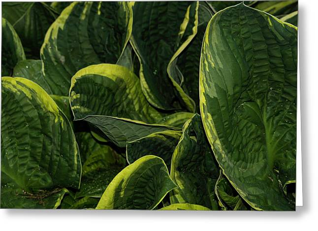 Giant Hosta Closeup Greeting Card