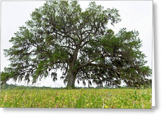 Giant Live Oak Tree And Flowers  Greeting Card
