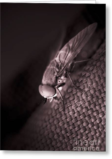 Giant March Fly Greeting Card by Jorgo Photography - Wall Art Gallery