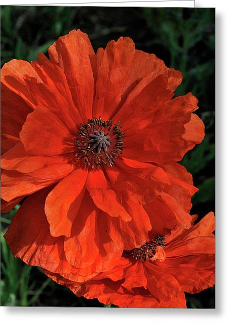 Giant Mountain Poppy Greeting Card