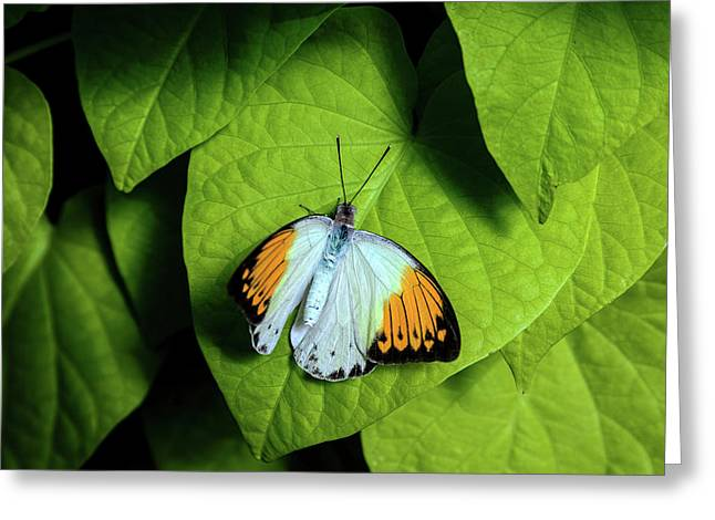 Giant Orange Tip Butterfly Greeting Card by Tom Mc Nemar