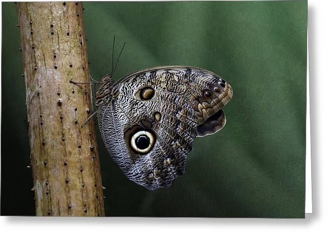 Giant Owl Butterfly On Screw Pine Greeting Card