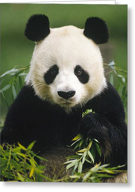 Giant Panda Ailuropoda Melanoleuca Greeting Card by Gerry Ellis