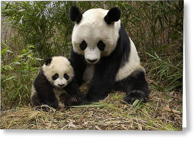 Greeting Card featuring the photograph Giant Panda Ailuropoda Melanoleuca by Katherine Feng