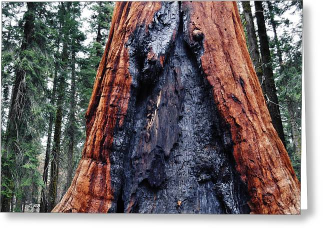 Greeting Card featuring the photograph Giant Sequoia by Kyle Hanson