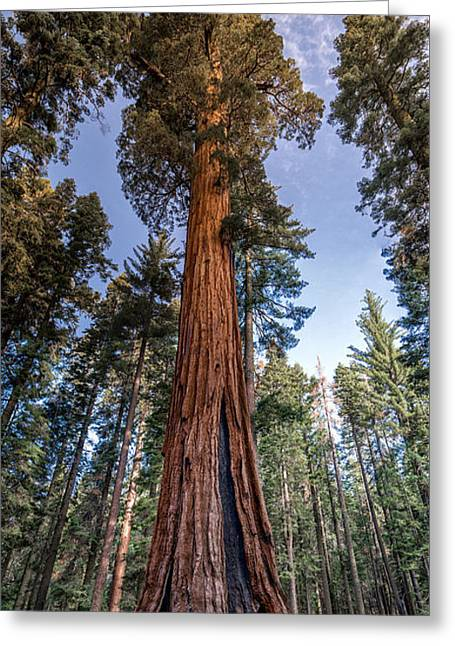 Giant Sequoia Greeting Card by Phil Abrams
