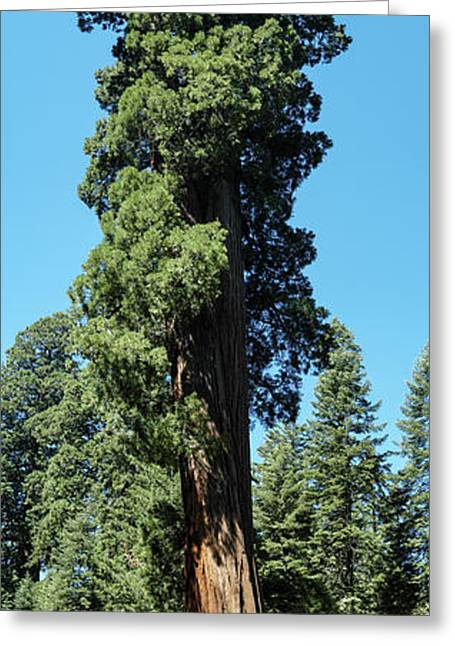 Giant Sequoia, Sequoia Np, Ca Greeting Card