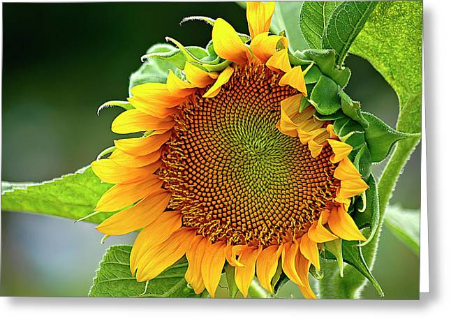 Aster Greeting Cards - Giant Sunflower Greeting Card by Carolyn Marshall