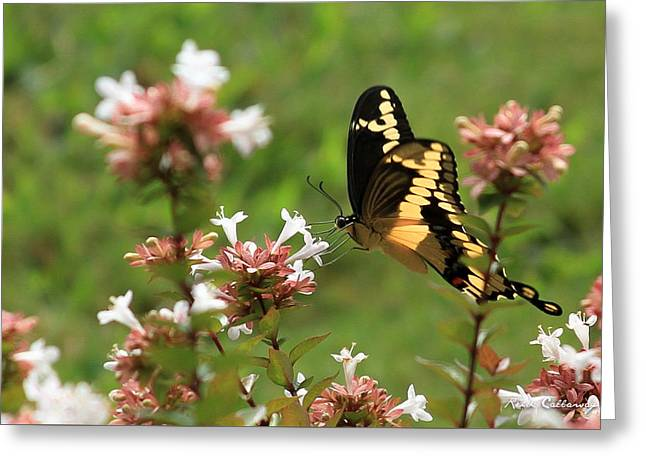 Giant Swallowtail Butterfly 2 Greeting Card by Reid Callaway