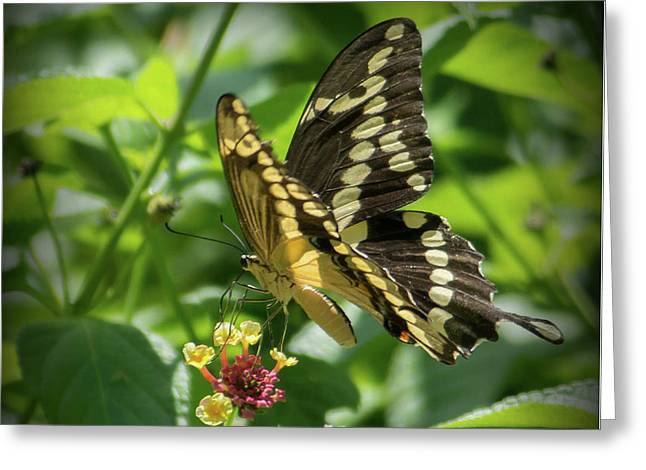 Giant Swallowtail On Lantana Greeting Card