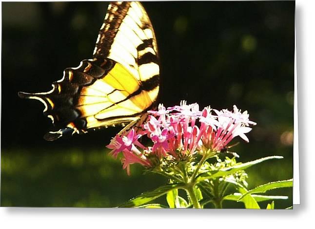 Giant Swallowtail On Penta Greeting Card