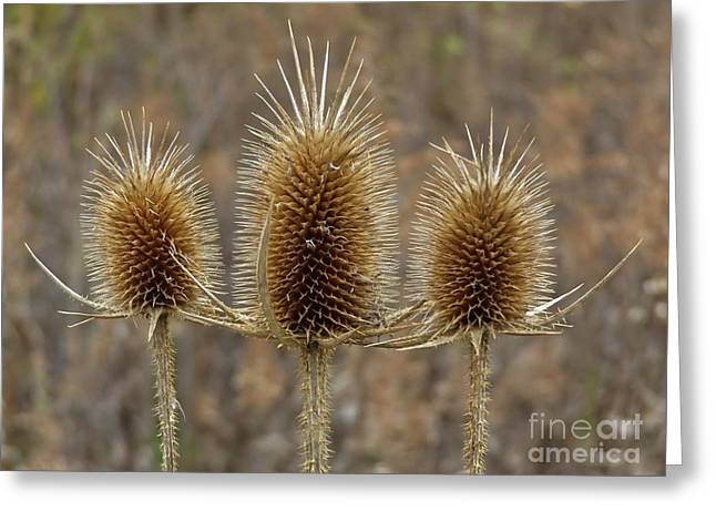 Giant Thistle Burrs        Autumn   Indiana Greeting Card