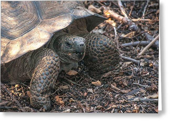 Giant Tortoise At Urbina Bay On Isabela Island  Galapagos Islands Greeting Card