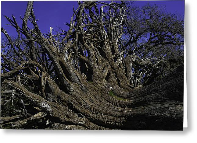 Giant Tree Roots Greeting Card