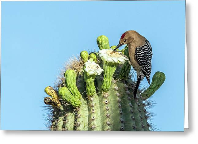 Gila Woodpecker 7281 Greeting Card by Tam Ryan