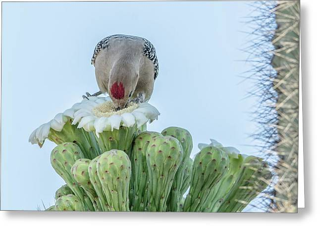 Gila Woodpecker And Saguaro Cactus Flower 7320 Greeting Card by Tam Ryan