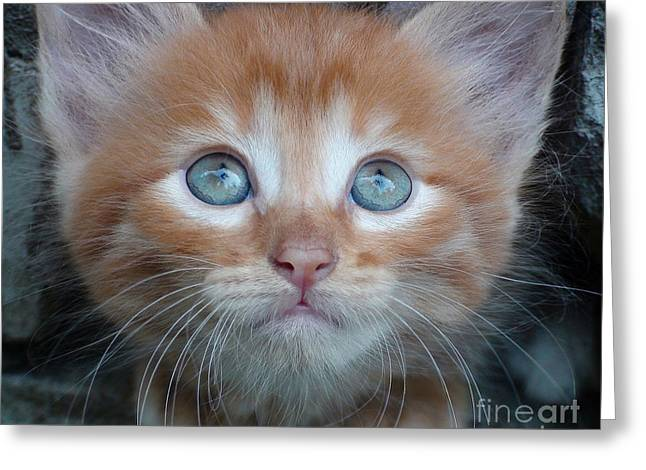Ginger Kitten With Blue Eyes Greeting Card by Sergey Lukashin